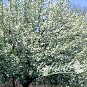 Pyrus ussuriensis Ure