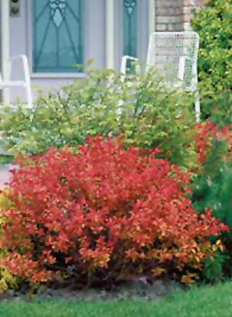 Spirea x bumalda Flaming Mound