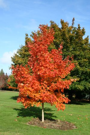 Acer saccharum Fall Fiesta