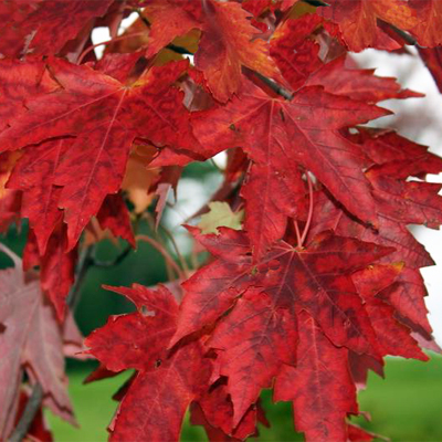 Acer freemanii Autumn Fantasy