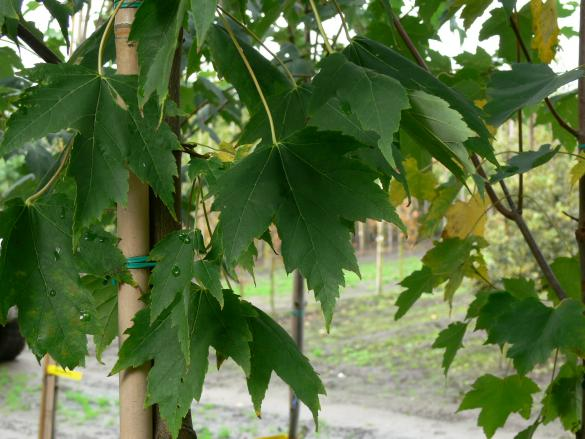 Acer rubrum Armstrong