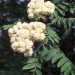 Sorbus Aucuparia Cardinal Royal