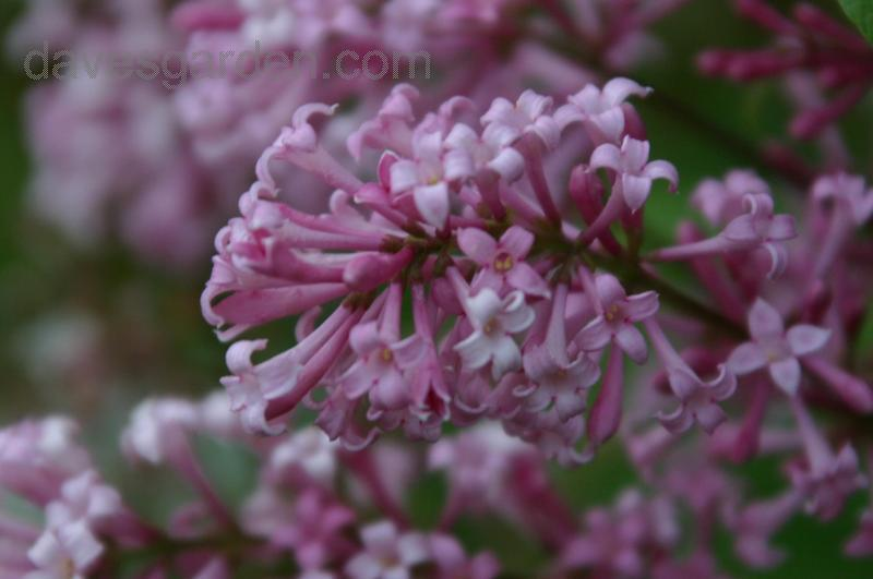 Syringa x prestoniae James Mac Farlane