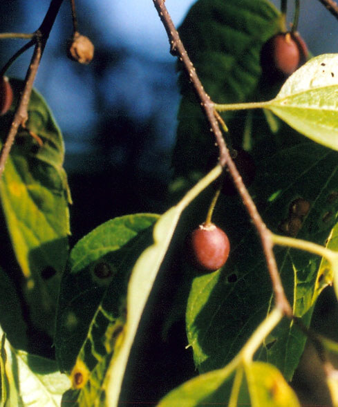 Celtis occidentalis