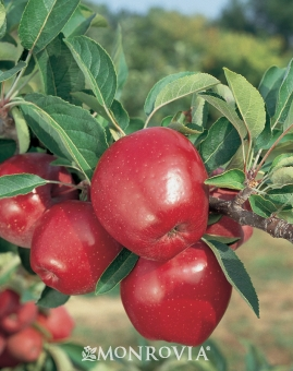 Pommetier Red Delicious
