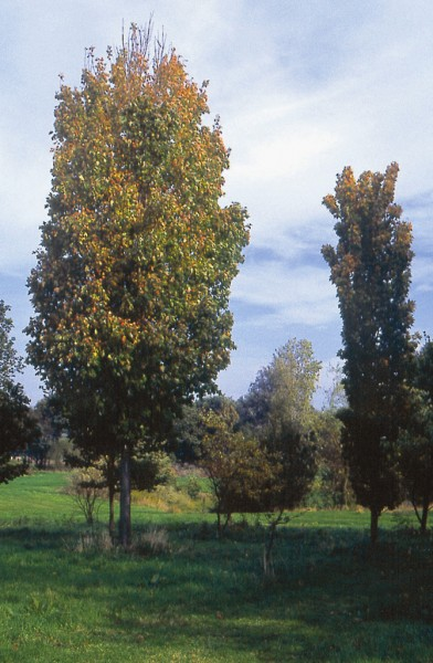 Acer saccharum Temples Upright